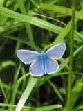 Papillon bleu commun de mâle au repos Photo stock