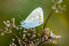 Papillon bleu commun de portrait d'insecte photographie stock libre de droits