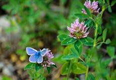 Papillon bleu commun sur des fleurs de trèfle Image libre de droits