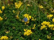 Papillon bleu commun sur St Agnès sur les îles de Scilly photo stock