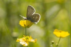 Papillon bleu commun sur une renoncule Photographie stock