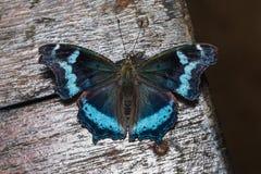 Papillon bleu d'amiral Photographie stock libre de droits