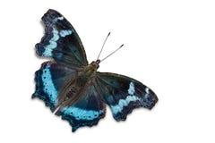 Papillon bleu d'amiral Images libres de droits
