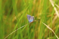 Papillon bleu dans un environnement naturel sur les lames de l'herbe photos libres de droits
