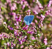 Papillon bleu de houx sur Heather Image stock