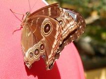Papillon bleu de morpho avec des ailes fermées photo stock