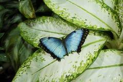 Papillon bleu de Morpno (peleides de Morpho) Photos stock