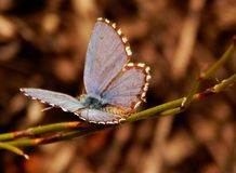 Papillon bleu pointillé par cap Afrique du Sud Image libre de droits