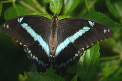 Papillon Bleu-réuni par Africain Photos stock