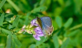 Papillon bleu sur la fleur pourpre Photos stock
