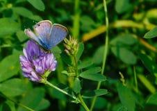 Papillon bleu sur la fleur pourpre Photo libre de droits