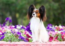 Papillon branco bonito com orelhas e cabeça vermelhas foto de stock royalty free