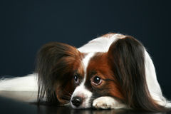 Papillon breed dog on a dark background Stock Photography