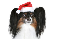 Papillon breed dog in red christmas hat. On a white background Stock Photos