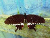 papillon Brosse-aux pieds photographie stock