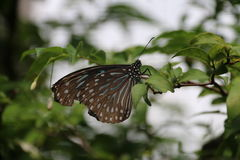 Papillon Brown azul Imagem de Stock