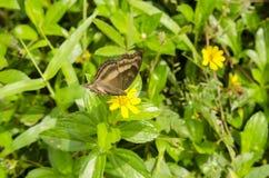 Papillon brunâtre photo libre de droits