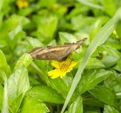 Papillon brunâtre photographie stock libre de droits