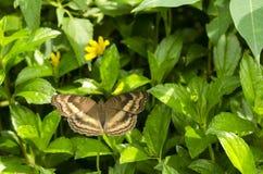 Papillon brunâtre images libres de droits
