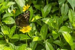 Papillon brunâtre photographie stock