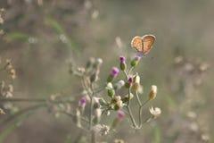 Papillon brun de plan rapproché photographie stock