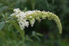 Papillon-Bush blanc Images libres de droits