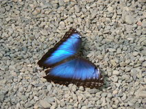 Papillon - Butterfly Royalty Free Stock Photos