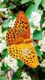 Papillon cardinal Photos stock
