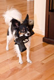 Papillon carrying toy gun Stock Photos