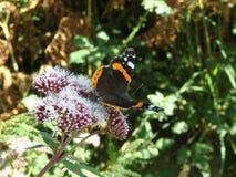 Papillon royalty free stock photo