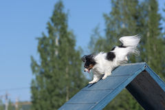 Papillon climbs over an a-frame Stock Photography