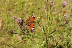 Papillon coloré Image libre de droits