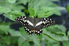 Papillon coloré avec le fond vert Photographie stock