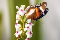 Papillon coloré gentil alimentant sur la fleur photographie stock
