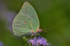 Papillon coloré par chaux Photos libres de droits