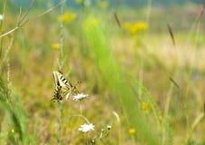 Papillon coloré se reposant sur la fleur dans le pré Photos stock