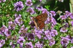 Papillon coloré sur des herbes d'une fleur bonnes pour le thé photos stock
