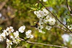 Papillon coloré sur une fleur de cerisier photos libres de droits