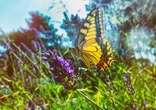 Papillon coloré sur une fleur de lavande image libre de droits