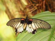 Papillon coloré tropical Photographie stock