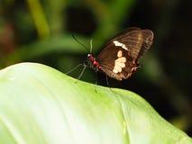 Papillon coloré tropical Photo libre de droits