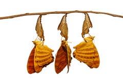 Papillon commun émergé d'isolement Han de risa de Chersonesia de maplet Photos libres de droits