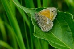 Papillon commun de boucle Photo libre de droits