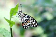 Papillon commun de chaux Photographie stock