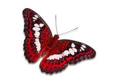 Papillon commun de commandant Photographie stock