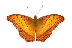 Papillon commun de croiseur Images libres de droits