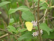 Papillon commun de jaune d'herbe sur le camara de lantana photo stock