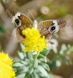 Papillon commun de maronnier américain photographie stock