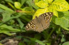 Papillon commun de maronnier américain près de Pune, maharashtra, Inde images stock
