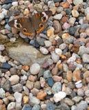 Papillon commun de maronnier américain sur des pierres Image stock